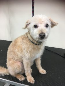 White dog after grooming